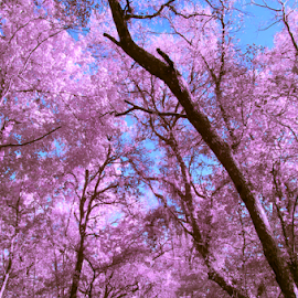 bithlo by David Ubach - Landscapes Forests ( canopy, arching, trees, pink, road )