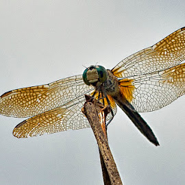 dragon and fly by Fred Walker - Animals Insects & Spiders ( fly, insect, dragonfly )