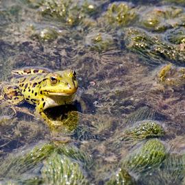 by Pietro Ebner - Animals Amphibians (  )