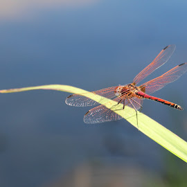 Dragonfly by Rentia Deyzel - Animals Other ( dragonfly )