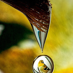 Goldfinch Drop by Connie Publicover - Abstract Water Drops & Splashes (  )