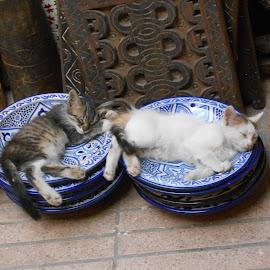 Plat Du Jour by Roddy Scott - Animals - Cats Kittens ( cats, animals, kitten, plate, tired, sleep )