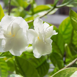 Mogra (Jasmine) by Mahima Chawla - Nature Up Close Gardens & Produce