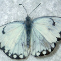 Brown Veined White
