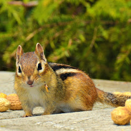 chipmunk by Char Robertson - Animals Other ( looking, critter, food, chipmunk, cute )