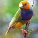 Australian Gouldian Finch