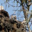 Bald Eagle (eaglets)