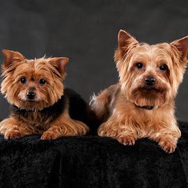 Yorkshire siblings by Renata Horáková - Animals - Dogs Portraits ( dogs, yorkshire terrier, dog portrait, dog,  )