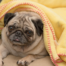 Sweet Jessie by Peder Magerøy - Animals - Dogs Portraits ( blanket, sweet, warm, cold, pet, fawn, dog, pug )