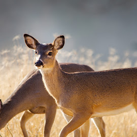 Whitetail Doe by Robert Marquis - Animals Other Mammals ( mammals, nature, texas, wildlife, doe, landscapes, landscape, deer )