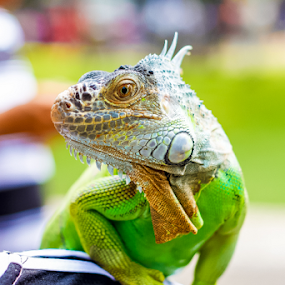 Iguana Go Green by Roland Roger - Animals Reptiles (  )