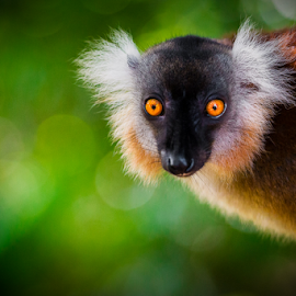 Miss Black (Black Lemur) by Johan Le Bail - Animals Other Mammals ( body, wildlife, undomesticated animals, bokeh, 06007000, madagascar, island, eyes, endemism, colour, beast, 06000000, 06006008, nosy be, nature, fur, 06006000, lemurs of madagascar, nikon, africa, oeil, johanlb, corps, eye, nikon d3s, animal, mammals, 08000000, animals, yeux, 2013, green, couleur, diana, île, nosy komba, forest, lemur, animaux, endemic, œil, color, vert, brown, primate, 08001000, beasts, lemurien,  )