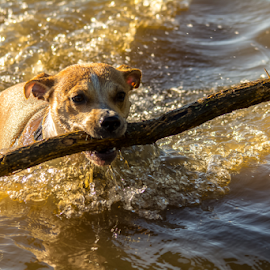 Dizzy having fun with water and a stick by Darren Allison - Animals - Dogs Playing ( playing, water, staffy, xbreed, stick, outdoors, fun, excersice, dog, pond )