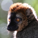 Rufous Brown Lemur
