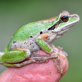 Finger Frog by Keith Sutherland - Animals Amphibians ( frog, green, finger )