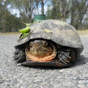 Mexican Mud Turtle