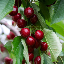 Sweet Cherries … Yummm by Betty Arnold - Food & Drink Fruits & Vegetables ( fruit, sweet cherries, cherries )
