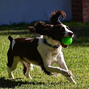 Gus plays ball by Phil Olson - Animals - Dogs Playing ( springer, dogs, springer spaniel, dogs playing, running,  )