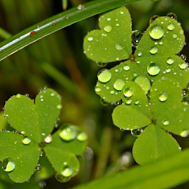 by Dipali S - Nature Up Close Leaves & Grasses ( water, grass, green, dew, drops, leaves, rain,  )