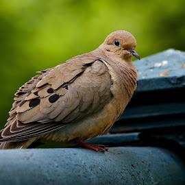 Dove by Dan Ferrin - Animals Birds ( bird, nature, wildlife, birds, dove )
