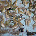 European Golden Plover and Northern Lapwing