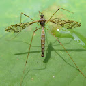 Limoniid Crane Fly - male