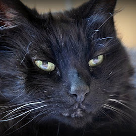 by Sandy Newfield - Animals - Cats Portraits ( cat, stare, whiskers, kitty, black cat )