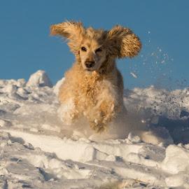 Fun in the Snow by Gaz Lomas - Animals - Dogs Running ( mam tor, cocker spaniel, snow, dog, running )