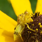 Pennsylvania Ambush Bug