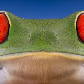 Red eye tree frog  by Kutub Macro-man - Animals Amphibians ( macro, nature, red eye tree frog, amphibians, eyes, animal )