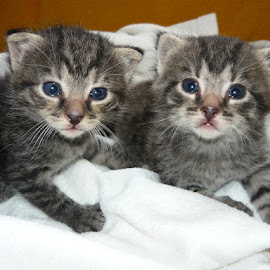 Two kittens by Helena Moravusova - Animals - Cats Kittens ( cat, animals, kittens )