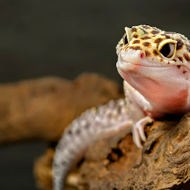 Smile ! by Dikky Oesin - Animals Reptiles ( tame, gecko, pet, reptile, small )