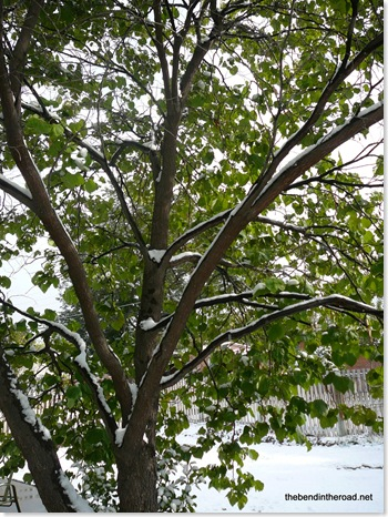 Green summer leaves and snow don't look good together!