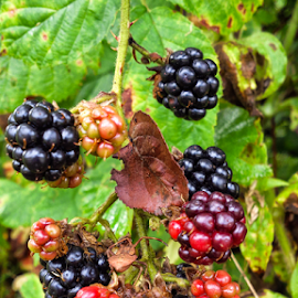 Fresh blackberry by Oliver Švob - Food & Drink Fruits & Vegetables ( blackberry, macro, fruit, nature, fruits, close up,  )