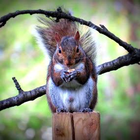 Squirrel  by Patti Hobbs - Animals Other Mammals ( squirrel other mammals holding a nut,  )