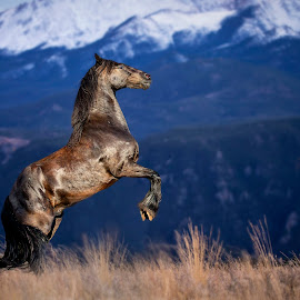 Magic at the meadow by Ozana Sturgeon - Animals Horses ( colorado, fiesian horse, pikes peak meadow horse horse fine art )