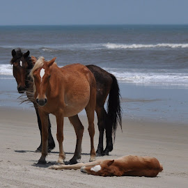 family watching over sleeping baby by Maggie Smith - Animals Horses ( animals, horses, baby animals, animal, sleeping, sleep, rest, resting,  )