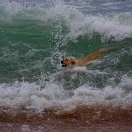 Umhlanga Surfer-dog by Doornkop Photos Hein Van Niekerk - Animals - Dogs Playing
