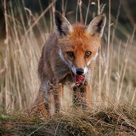 Vixen Fox by Derek Lees - Animals Other ( cannock chase, uk, fox, vixen )