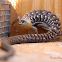 San Diego Alligator Lizard