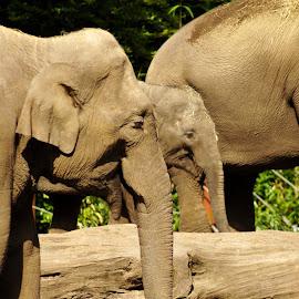 Elephants by Anita Berghoef - Animals Other Mammals ( mammals, elephants, animals, trunk, zoo, elephant, grey, mammal, animal )