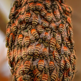 Beehive by Reynaldo Andrada - Animals Insects & Spiders ( bee, beehive, qatar )