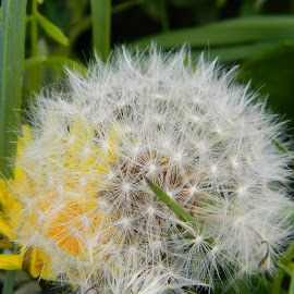 dandylion fluff by Kayleigh Pyle - Novices Only Flowers & Plants ( fluffy, grass, seeds, dandylion, closeup )