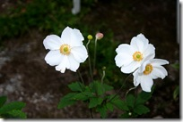 Anemone hupensis 'Honorine Jobert'