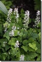 TiarellaCordifolia