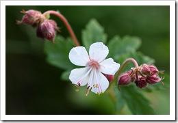 Geranium macrorrhisum 'Spessart'
