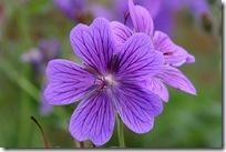 Geranium x magnificum 'Rosemoore'