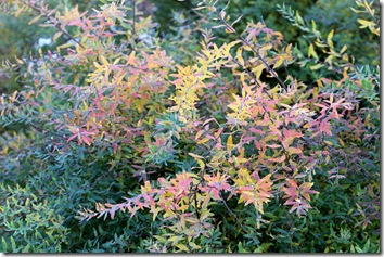 Spirea