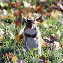 Squirrel  (fall)