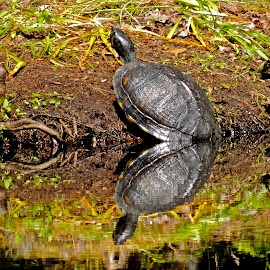 Turtle Duet by Eve Spring - Animals Reptiles ( water, nature, grass, reflections, lake, turtle, swamp,  )